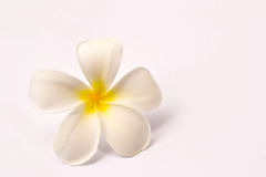 Lan Thom Flowers. On white background Stock Images