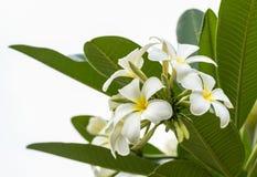 Lan thom kwiat Fotografia Stock