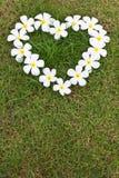Lan Thom white heart-shaped flowers. Lan Thom white heart-shaped flowers on the grass Royalty Free Stock Photo