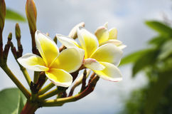 Lan Thom Witte bloemen Royalty-vrije Stock Foto