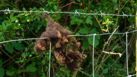 Lana delle pecore di Brown che appende su un recinto Fotografia Stock