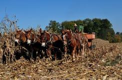 Lancaster County, PA: Amish Farmer with Donkeys Stock Image