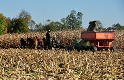 Lancaster County, Pennsylvania: Amish Farmer Threshing Corn Stock Image