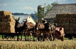 Lancaster, PA: Amish Farmer with Donkeys Stock Image