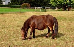 Lancaster, PA: Grazxing Horse Royalty Free Stock Photos