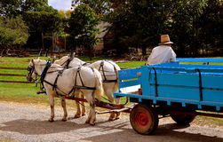 Lancaster, PA: Wagon Driver with White Horses Stock Photos