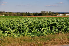 Lancaster, Pennsylvania: Field of Tobacco Plants Stock Image