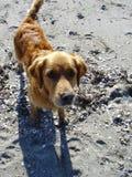 Lance el perro feliz de la bola Fotografía de archivo