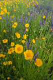 Lance-leaf Coreopsis. A field of wildflowers in North Carolina Royalty Free Stock Images