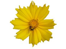 Lance-leaved coreopsis buds and yellow flower with bee isolated. On white Stock Photo