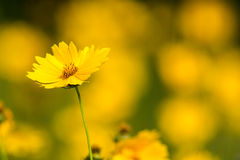 Lance-leaved Coreopsis. A single Lance-leaved Coreopsis flower in a field of Lance-leaved Coreopsis Royalty Free Stock Images