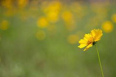 Lance-leaved coreopsis Royalty Free Stock Images