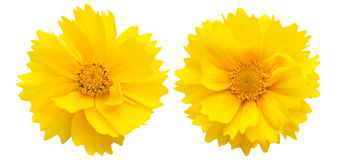 Lance-leaved coreopsis on a whie background Royalty Free Stock Photography