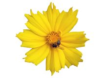 Lance-leaved coreopsis yellow flower with bee isolated on white.  Royalty Free Stock Photo