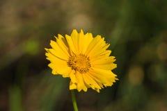 "Lance Leaved Correopsis Sunflower †""lanceolate Coreopsis Royalty-vrije Stock Fotografie"