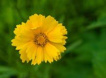 "Lance Leaved Correopsis Sunflower †""lanceolate Coreopsis Royalty-vrije Stock Afbeeldingen"