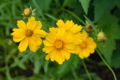 "Lance Leaved Correopsis Sunflower †""lanceolate Coreopsis Royalty-vrije Stock Foto"