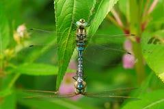 Lance-tipped Darner Dragonfly - Aeshna constricta. Two Lance-tipped Darner Dragonflies mating in the flowery shrubs. High Park, Toronto, Ontario, Canada stock images