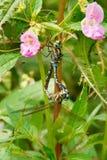Lance-tipped Darner Dragonfly - Aeshna constricta. Two Lance-tipped Darner Dragonflies mating in the flowery shrubs. High Park, Toronto, Ontario, Canada royalty free stock image