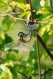 Lance-tipped Darner Dragonfly - Aeshna constricta. Two Lance-tipped Darner Dragonflies mating on a rusty fence. Brighton Constructed Wetland, Brighton, Ontario royalty free stock images