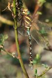 Lance-tipped Darner Dragonfly. Female Lance-tipped Darner Dragonfly perched on a dead stem Royalty Free Stock Photo