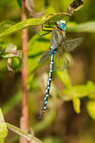 Lance-tipped Darner Dragonfly. Perched on a leaf Stock Image