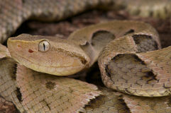 Lancehead / Bothrops moojeni. The Lancehead is an terrestrial snake from Brazil. These cryptic snakes are responsible for most of the snake bites in South Royalty Free Stock Photography