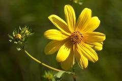 Lanceleaf Coreopsis lanceolata Wildflowers fotografia royalty free