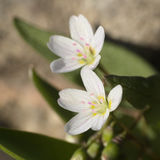 Lanceleaf Springbeauty. Or claytonia lanceolata stock photos