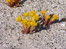 Lanceleaved stonecrop Stock Photos