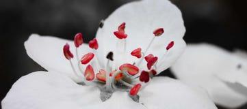 Lancement de pistil de fleur de poire images libres de droits