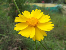 Lanceolata Coreopsis Στοκ εικόνες με δικαίωμα ελεύθερης χρήσης