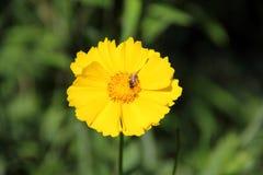 Lanceolata Coreopsis Στοκ Εικόνες