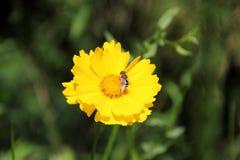 Lanceolata do Coreopsis Foto de Stock