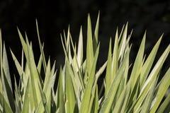 Lanceolate Blätter Lizenzfreies Stockfoto