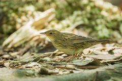 Lanceolated Warbler Stock Images