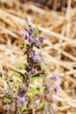 Lanceolatum Trichostema ζιζανίων ξιδιού, λουλούδι Lamiaceae, ισχυρή μυρωδιά ξιδιού, Καλιφόρνια στοκ εικόνες με δικαίωμα ελεύθερης χρήσης