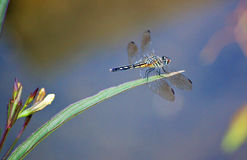 Lancet Clubtail dragonfly with copyspace Stock Images