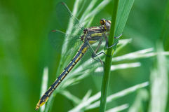 Lancet Clubtail Royalty Free Stock Images