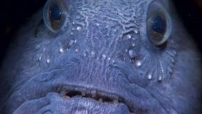 Lancet fish catfish close up in search of food underwater of White Sea. stock video footage