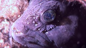 Lancet fish catfish on seabed underwater in ocean of White Sea. Swimming in amazing world of beautiful wildlife. Inhabitants in search of food. Abyssal relax stock video footage