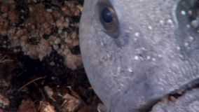 Lancet fish catfish on seabed underwater in ocean of White Sea. stock footage