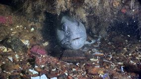 Lancet fish catfish on seabed underwater in ocean of White Sea. stock video