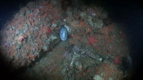 Lancet fish on seabed underwater in ocean of Alaska. stock video