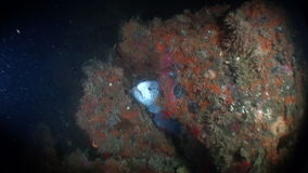 Lancet fish on seabed underwater in ocean of Alaska. stock video footage