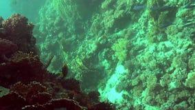 Lancez l'insidiator d'Epibulus de Wrasse de mâchoire en Mer Rouge clips vidéos