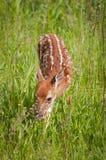 Lancez le virginianus Blanc-coupé la queue de Fawn Odocoileus de cerfs communs Images libres de droits