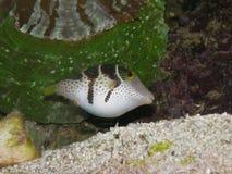 Lanci i pesci Nero-Sellati del pesce palla di Toby Fotografia Stock