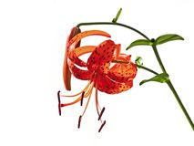 lancifolium百合属植物 库存照片