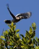 Lancio femminile della Florida Jay blu Fotografia Stock